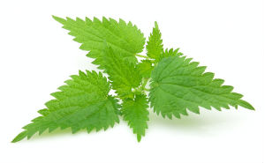 Nettle Leaf Extract Testo-max ingredients